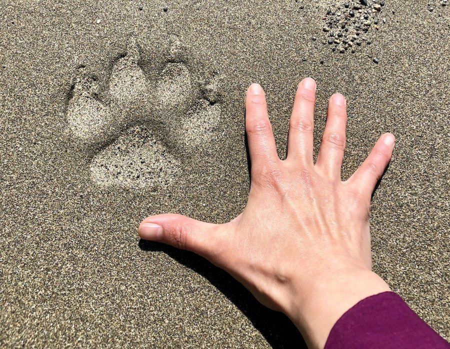 Cougar tracks on the beach on the West Coast Trail