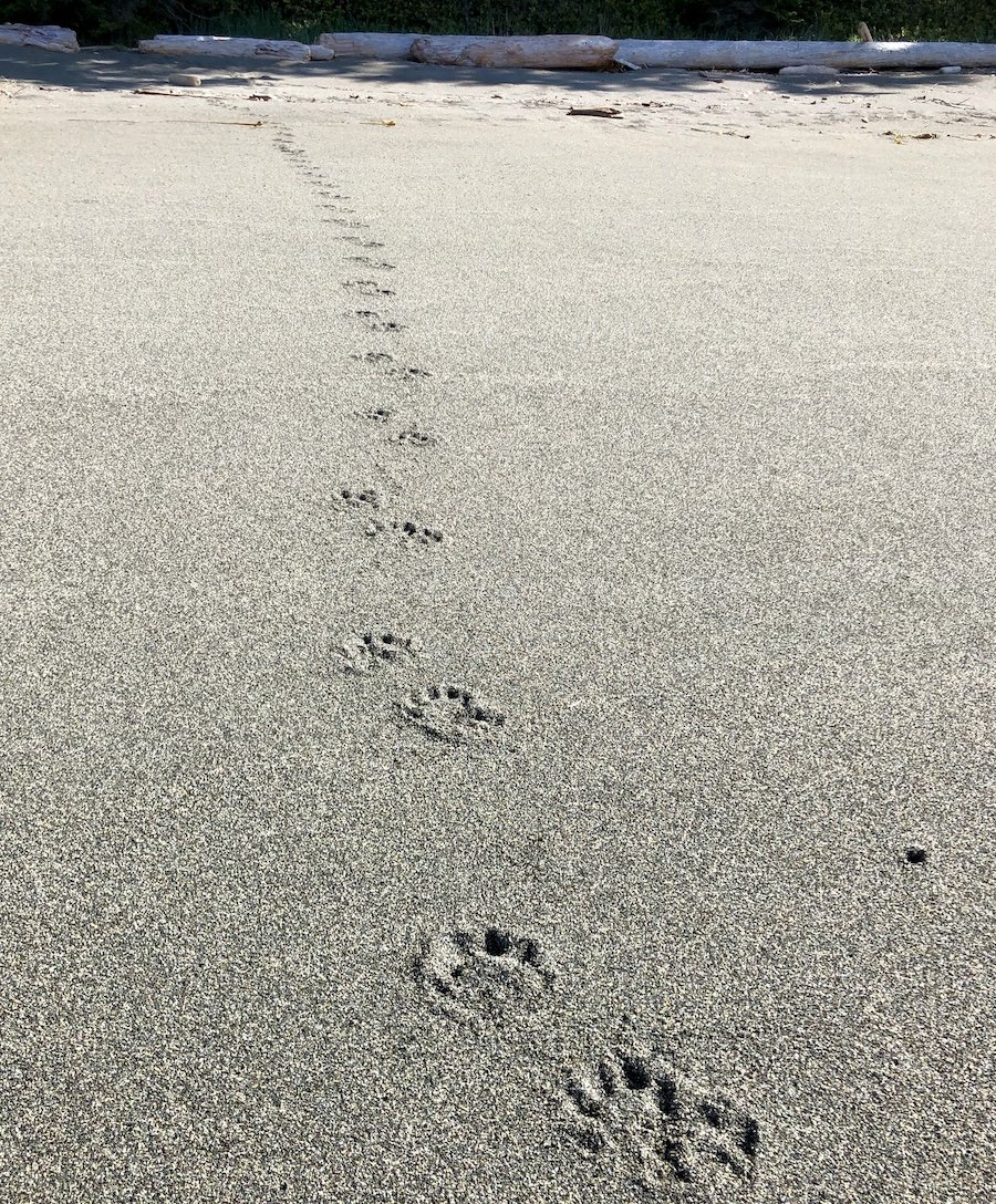 Wolf tracks on the West Coast Trail
