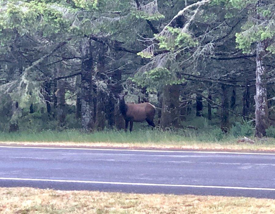 Fort Stevens State Park Elk Sighting