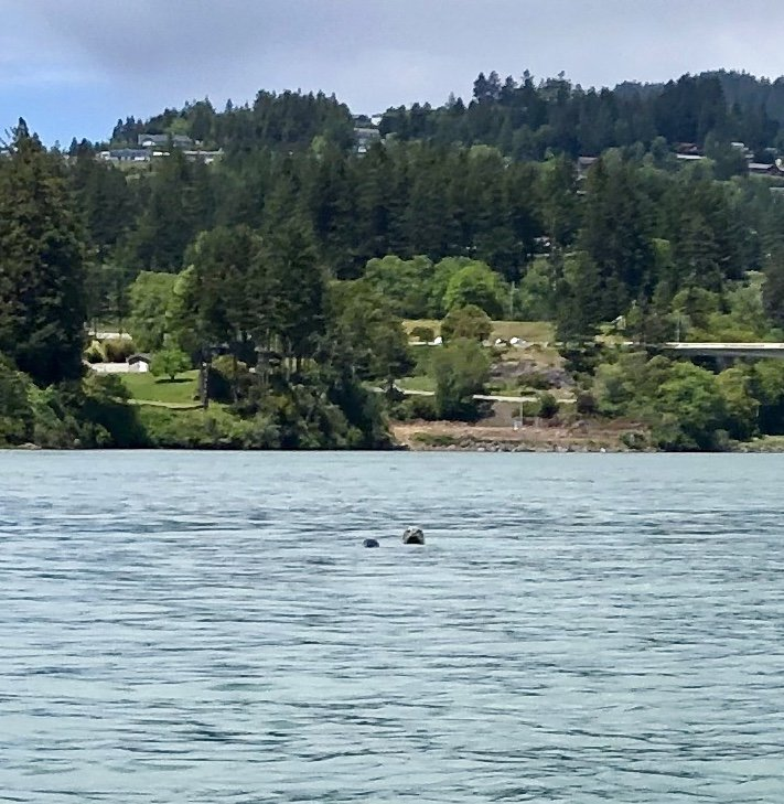 Spotting a Harbour Seal and Her Calf Wile Kayaking the Chetco River, Oregon