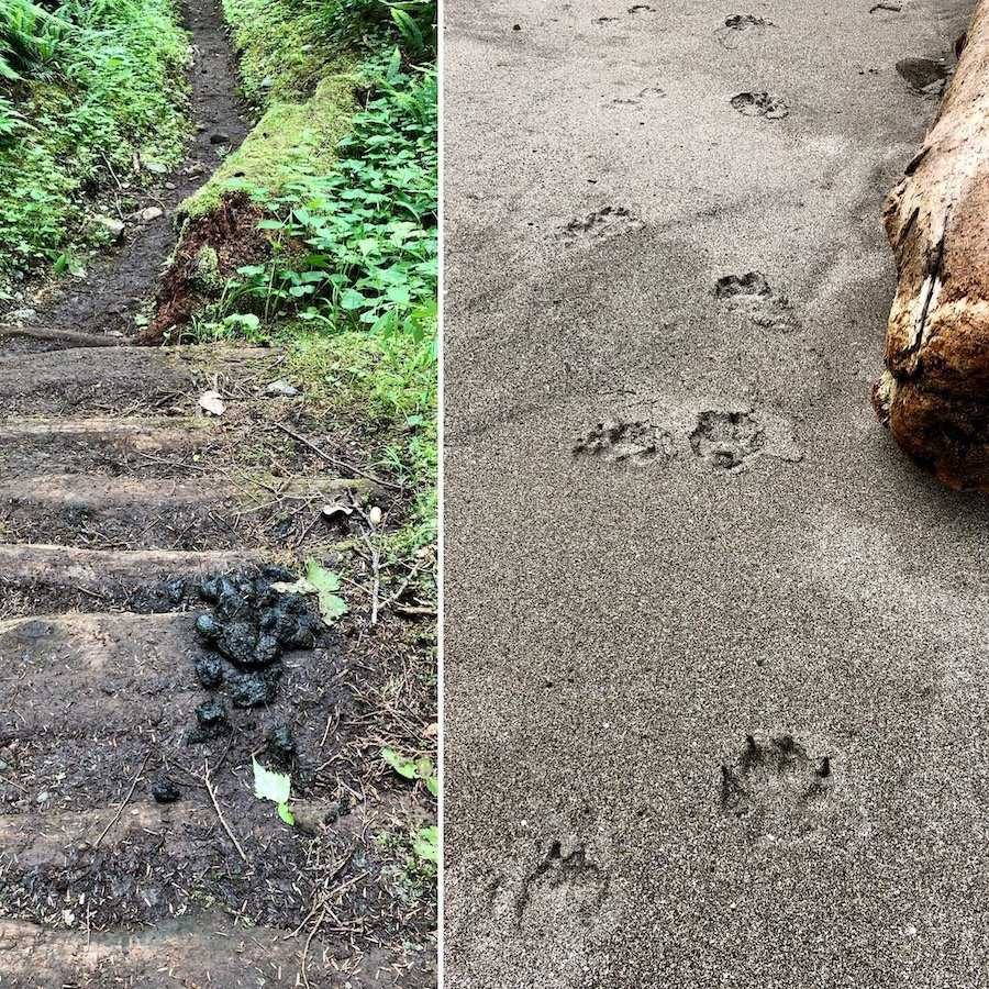 Wolf droppings and tracks on Cape Scott Trail, Cape Scott Provincial Park