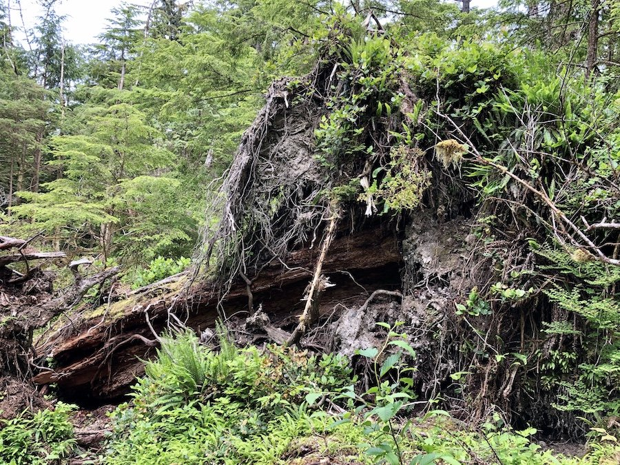 Gigantic felled trees on lighthouse trail, Cape Scott Trail, Cape Scott Provincial Park