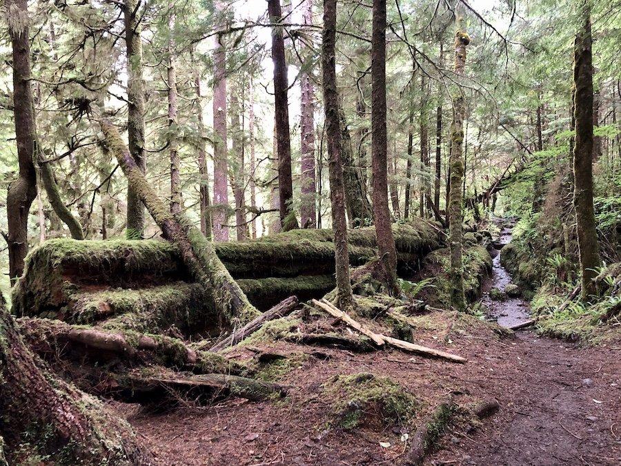 Massive felled tree on the Cape Scott Trail at Cape Scott Provincial Park