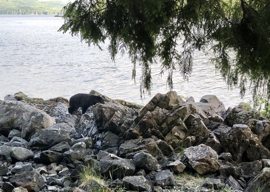 Bear sighting at Shushartie Bay, North Coast Trail