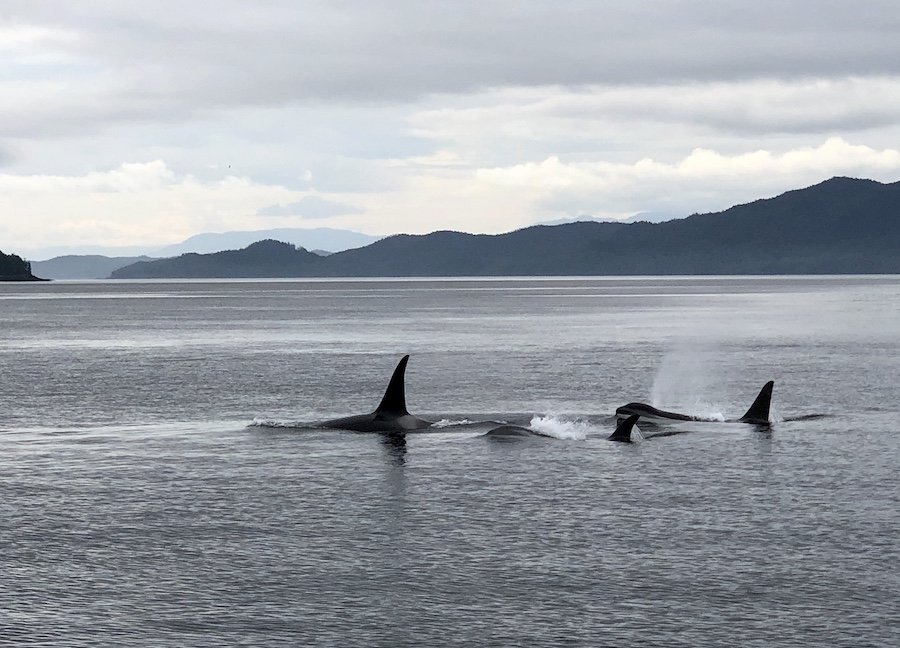 Orcas seen from the water taxi, North Coast Trail