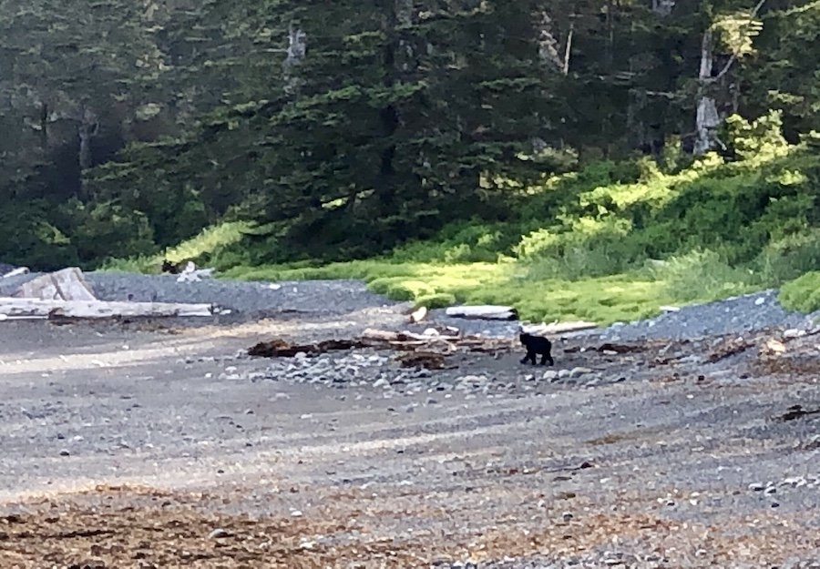 Black bear foraging on the coastal trail at low tide, Laura's Creek to Shuttleworth Bight, North Coast Trail